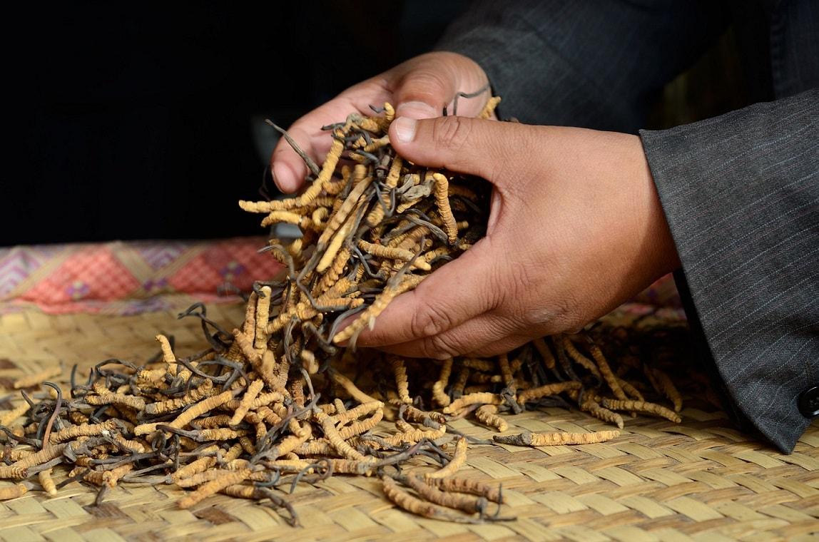 cogumelos medicinais Cordyceps
